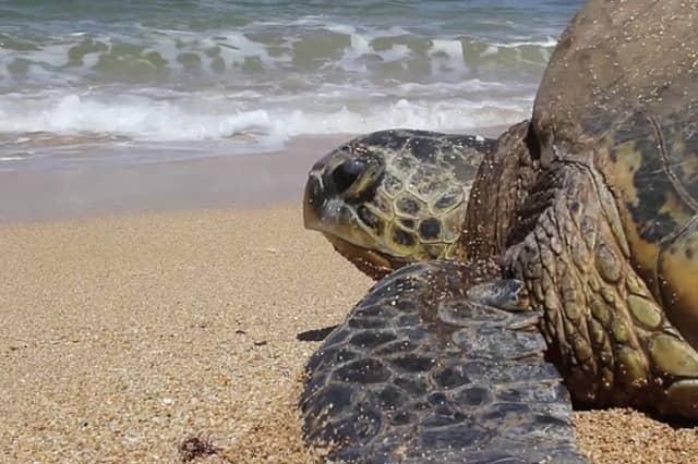 Las gigantes tortugas marinas verdes